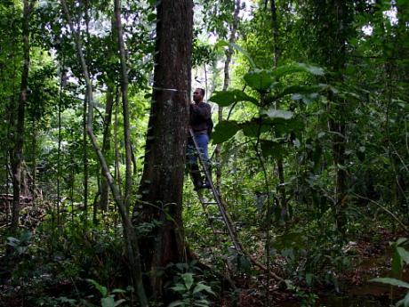man measuring large tree on ladder