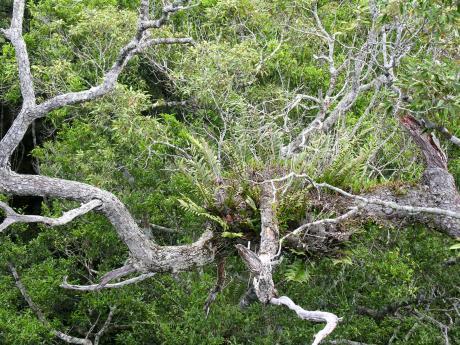 hainan forest crown