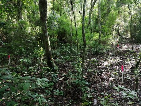 Tropical forest with moderate understory