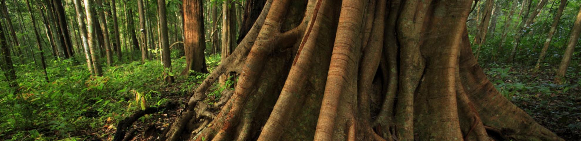 HKK dipterocarp tree